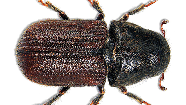 Pine Beetle Mitigation